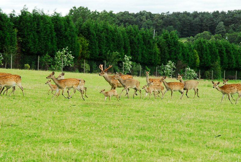 Herd-running